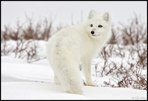 Raposa do Artico