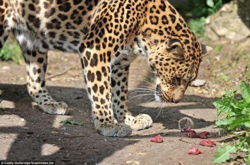 Leopardo Rato 1
